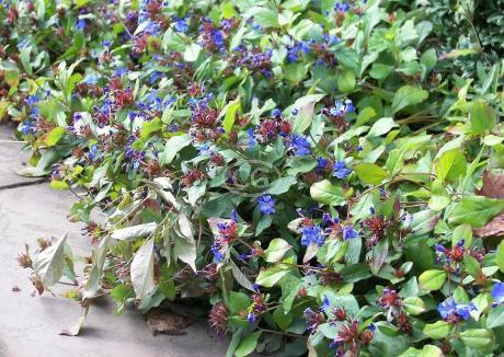 Dwarf Plumbago Seeds Dwarf Plumbago Hardy Blue